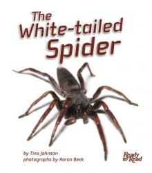 The White Tailed Spider.